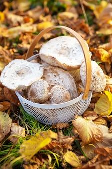 Cesta com guarda-chuvas de cogumelos comestíveis lindamente apanhados fica em folhas amarelas caídas. fechar-se