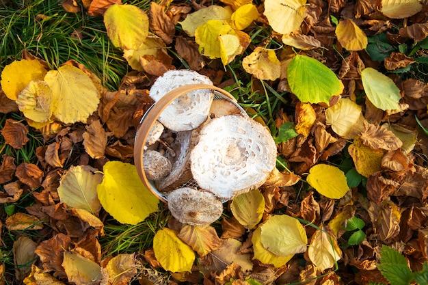 Cesta com guarda-chuvas de cogumelos comestíveis lindamente apanhados fica em folhas amarelas caídas. vista de cima.
