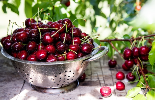 Cesta de cereja. galho de árvore de cereja. cerejas maduras frescas. cerejas doces no jardim