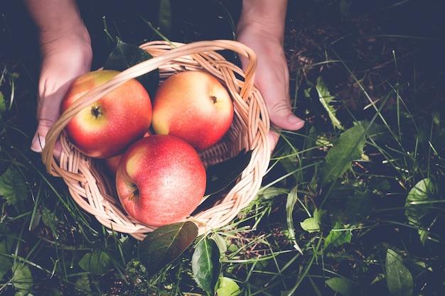 Cesta de maçãs nas mãos femininas.