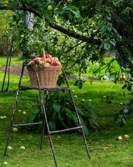 Cesta de maçãs no jardim de outono nas escadas, colheita