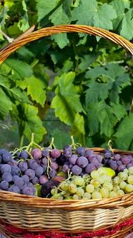 Cesta de uvas e figos