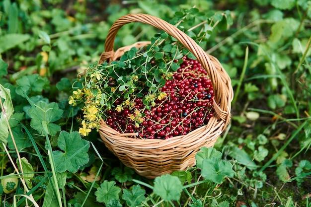 Cesta de vime cheia de bagas de groselha e um ramo de flores de erva-de-são-joão na grama