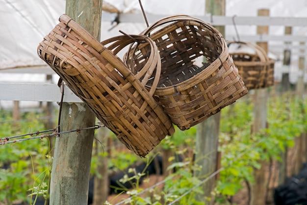 Cestas de bambu pendurado na videira para colher