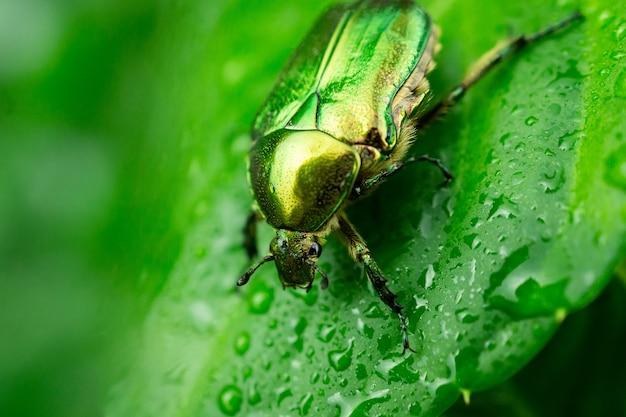 Cetonia aurata folha verde
