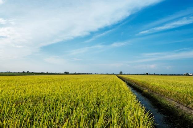 Céu azul acima de um arrozal