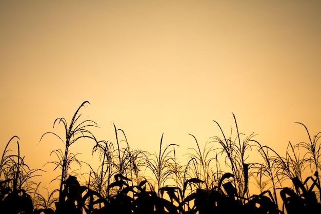 Céu claro com luz dourada do efeito do nascer do sol e campo de milho na frente da cena, belo exterior natural para o fundo do vintage
