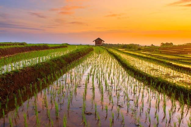 Céu da manhã em campos de arroz na indonésia