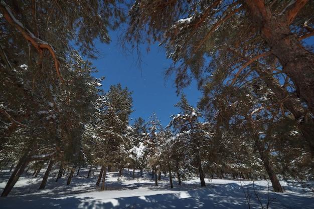 Céu estrelado acima da floresta de pinheiros