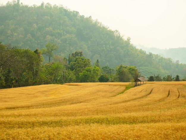Cevada no teste da conversão do campo em tailândia norte, cor dourada do arroz, cevada no chiangmai tailândia.