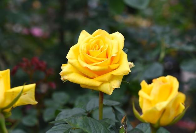 Chá amarelo rosa com folhas verdes