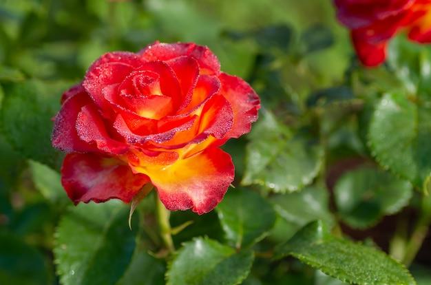 Chá e rosas híbridas de um grau de alta sociedade
