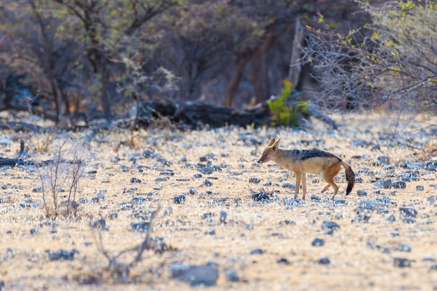 Chacal suportado preto que anda no arbusto, luz do dia. parque nacional de etosha, o principal destino de viagem na namíbia, áfrica. vista de perfil.