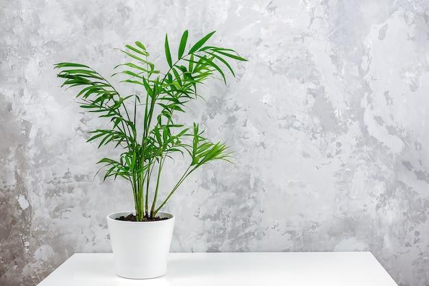 Chamaedorea de palmeira verde exótica em um vaso branco na mesa contra uma parede de concreto cinza