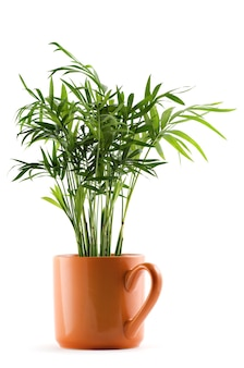 Chamaedorea planta em copo em branco