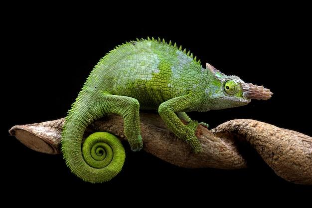 Chameleon fischer closeup em árvore com fundo preto animal closeup