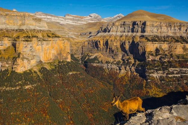 Chamois no outono no parque nacional de ordesa e monte perdido, espanha