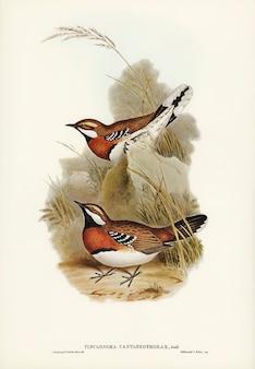 Chão-de-peito-castanha (cinclosoma castaneothorax)