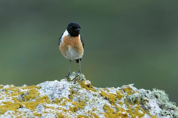 Chapéu de pedra comum macho em seu poleiro favorito dentro de seu território de reprodução Foto Premium