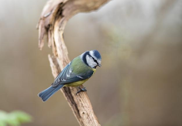 Chapim-azul cyanistes caeruleus, sentado em um galho velho e morto