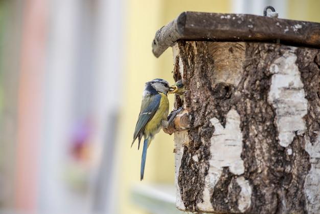 Chapim-azul da eurásia em uma caixa de nidificação