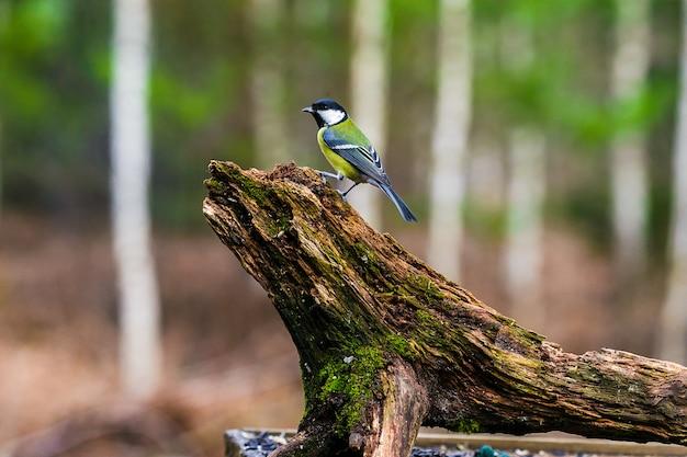 Chapim-azul pássaro sentado em um toco