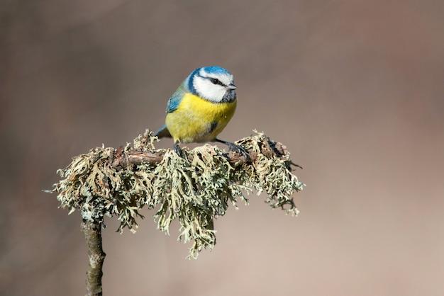 Chapim-azul sentado em uma linda vara com musgo
