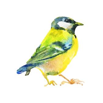 Chapim em aquarela. pássaro desenhado de mão. ilustração ornitológica de pintura em branco