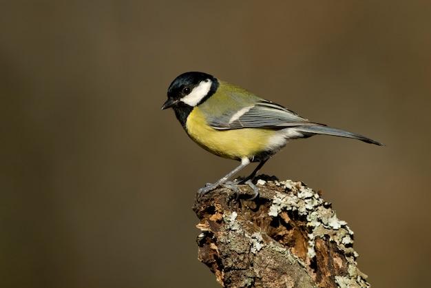 Chapim em um galho com a última luz da tarde, pássaros, passeriformes, parus major