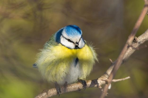 Chapim pássaro em um galho
