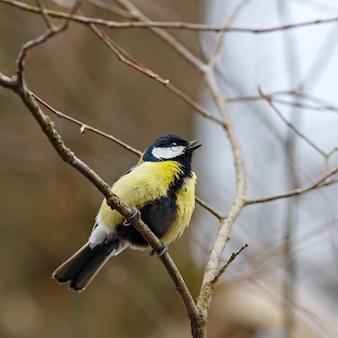 Chapim-real em um galho de árvore no início da primavera.