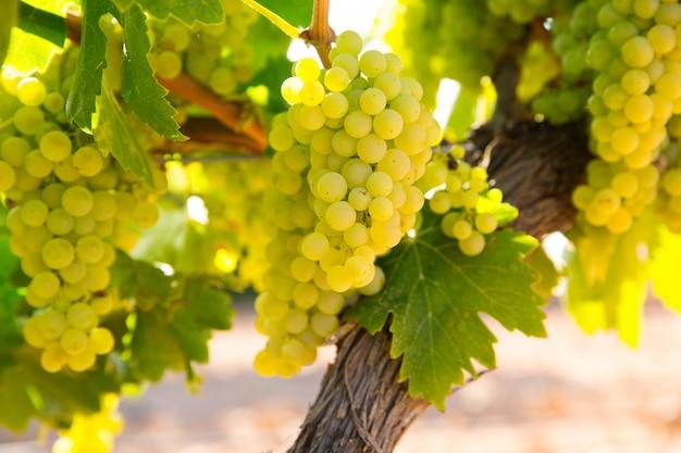 Chardonnay uvas para vinho em vinhedo cru pronto para a colheita