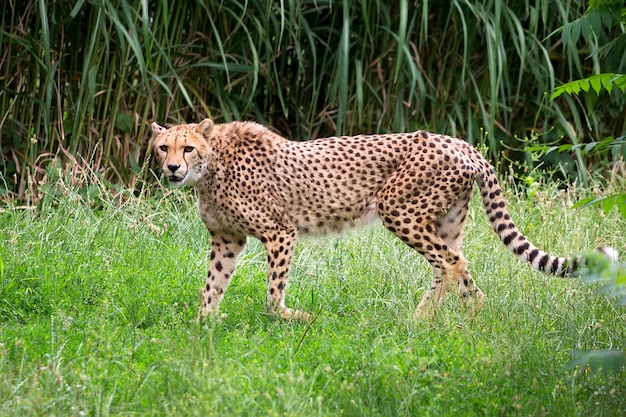 Cheetah em uma clareira