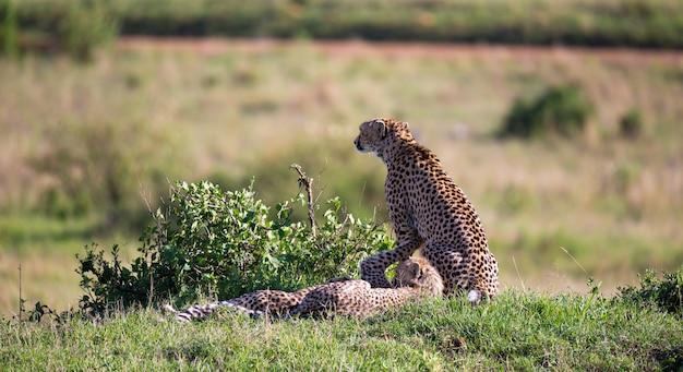 Cheetah mãe com seus filhos na savana