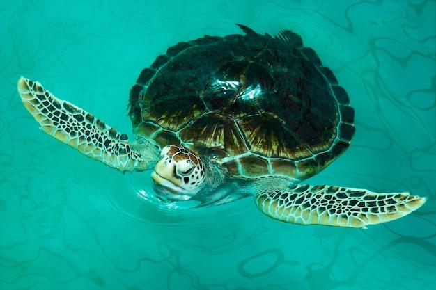 Chelonia mydas na lagoa.