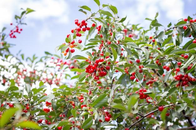 Cher maduro. cerejas maduras vermelhas em um galho de uma árvore de cereja em um fundo de folhas verdes e céu azul. colheita. produto natural