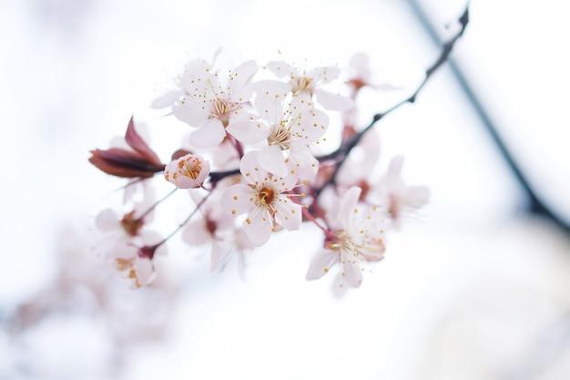 Cherry blossom ou flor de sakura no fundo da natureza.