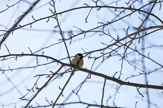 Chickadee selvagem na estação fria de inverno, pássaros invernando na europa