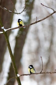 Chickadee selvagem na estação fria de inverno, pássaros invernando na europa Foto Premium