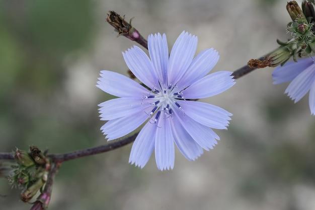 Chicória comum, cichorium intybus, flor, malta, mediterrâneo,