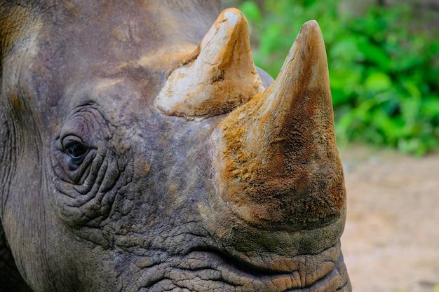 Chifre de rinoceronte mamífero animal closeup no zoológico