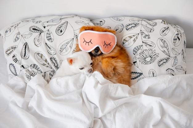 Chihuahas dormindo em uma cama
