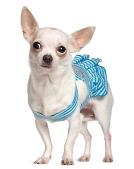 Chihuahua, 1 ano de idade, vestindo vestido listrado azul e em pé