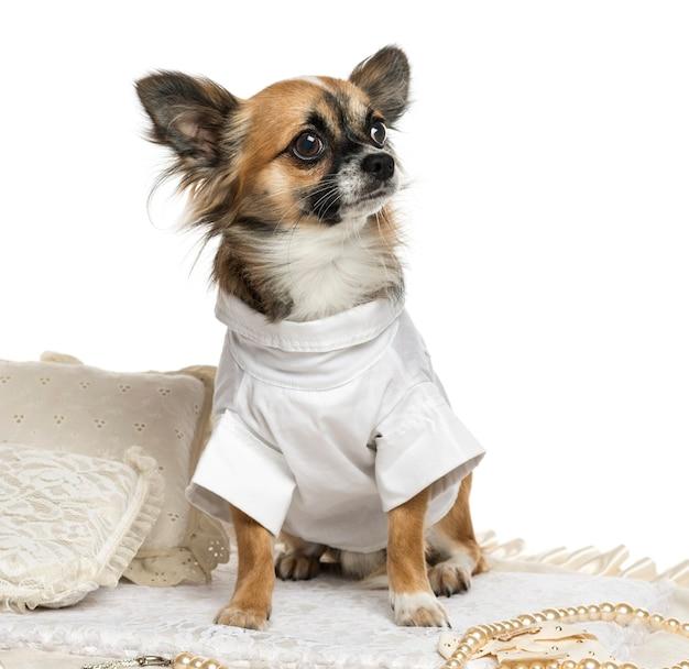 Chihuahua bem vestido sentado em um tapete isolado no branco
