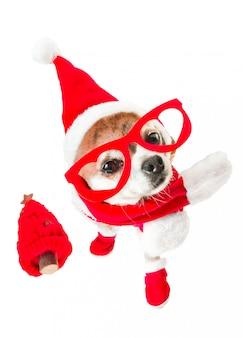 Chihuahua bonito do cão no traje de papai noel com a árvore de natal vermelha e vidros vermelhos nos olhos no branco isolado.