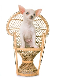 Chihuahua branco do cachorrinho na cadeira