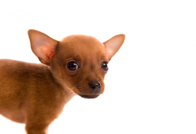 Chihuahua cachorrinho de estimação cãozinho retrato em branco