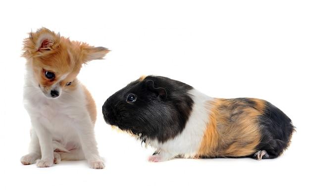 Chihuahua cachorrinho e porquinho da índia