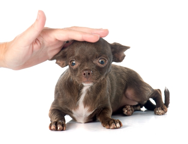 Chihuahua cachorrinho