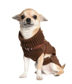 Chihuahua com 1 ano de idade. retrato de cachorro isolado